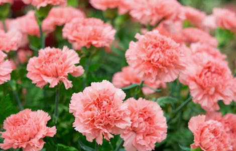 Photograph of carnations