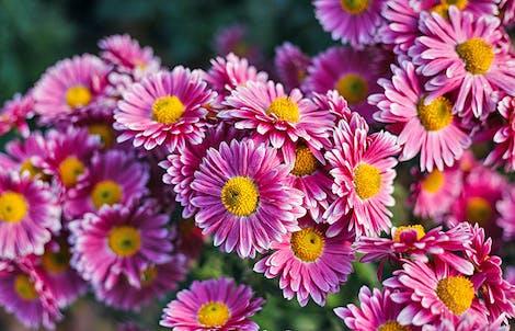 Photograph of daisy chrysanthemums