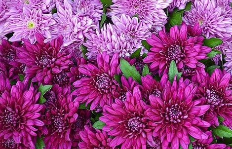 Photograph of standard chrysanthemums