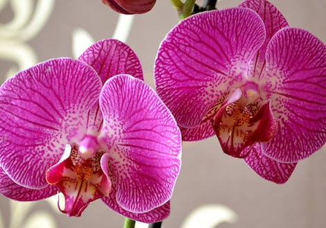 Close-up photograph of phalaenopsis orchids