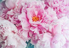 A single light pink peony with its dark yellow stamen visible