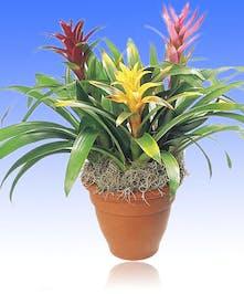 Triple Bromeliad Garden - Al's Florist