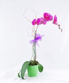 Desktop Orchid