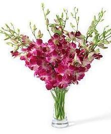 Sonia Dendrobium Orchid
