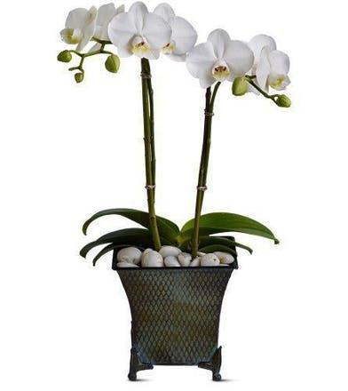 Two white phalaenopsis orchids in a pedestal urn with river rock accents