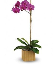 Phalaenopsis Orchid Plant - Al's Florist