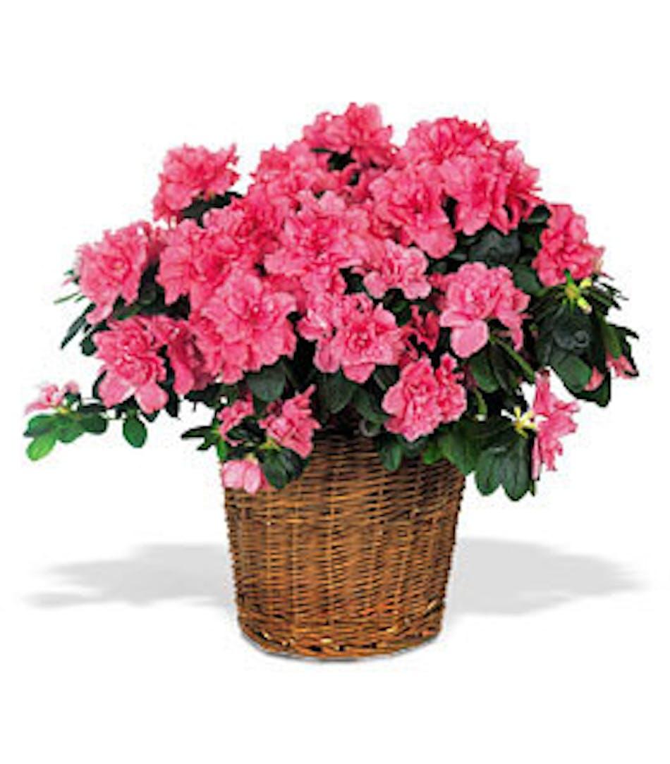 Pink azalea plant in a large wicker basket.
