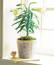 Easter lily plant in a large basket.