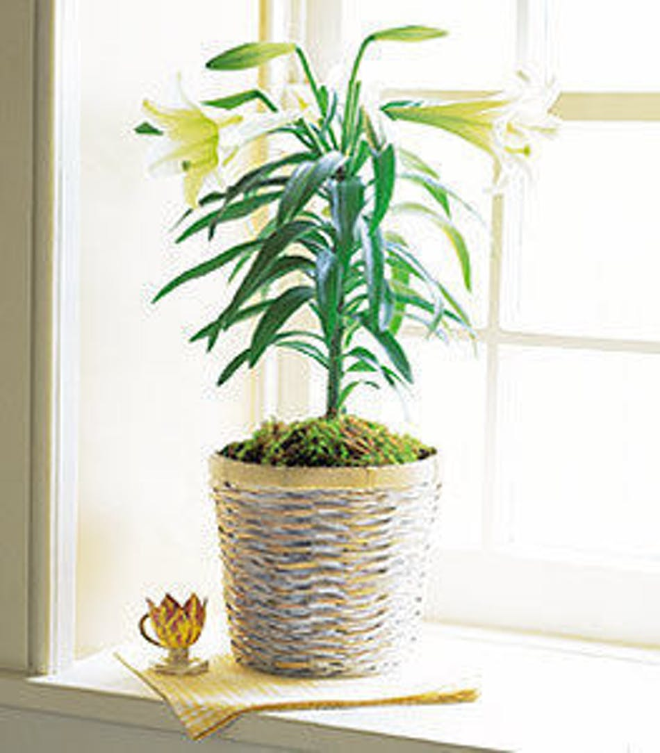 Easter Lily Plant Same Day Easter Flower Delivery Hollywood