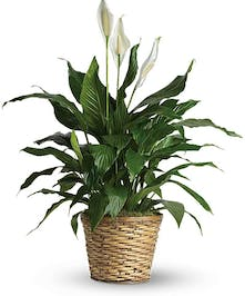Green peace lily house plant with white flowers in a woven planter.