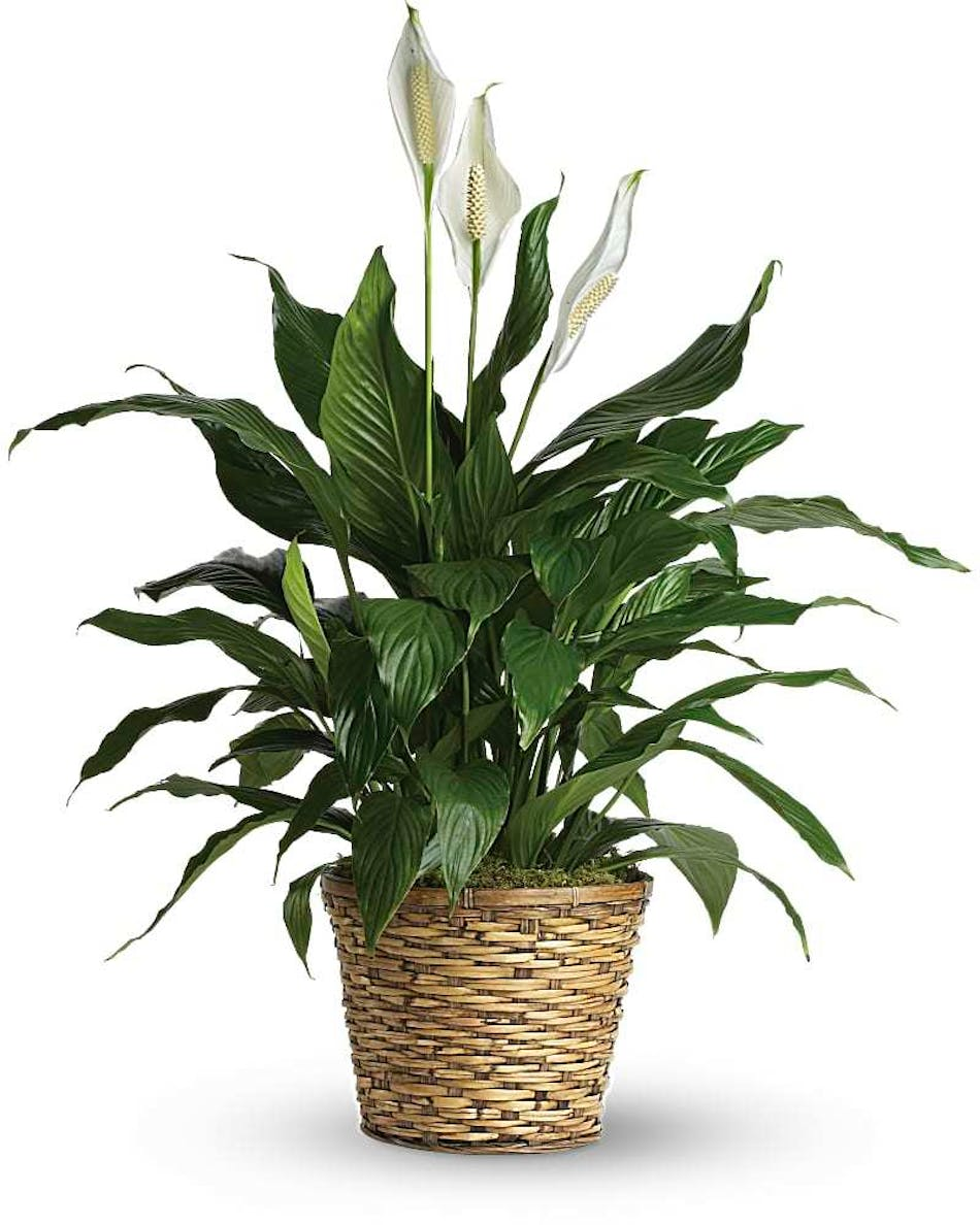 Hollywood Florida Blooming Peace Lily Same Day Delivery Als