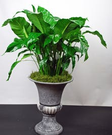 Beautiful peace lily plant in an elegant urn container.